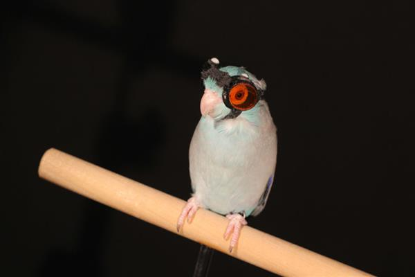this-bird-wearing-3d-printed-safety-goggles-fly-lasers-1.jpg