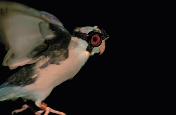 this-bird-wearing-3d-printed-safety-goggles-fly-lasers-5.jpg